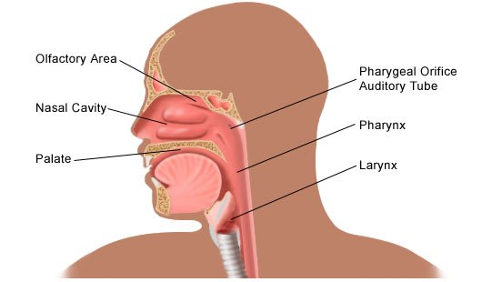 Image result for diagram of the throat
